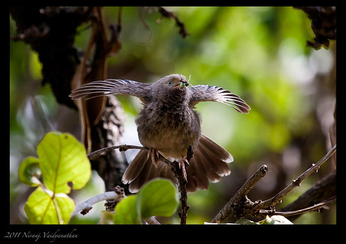 Jungle Babbler with catch