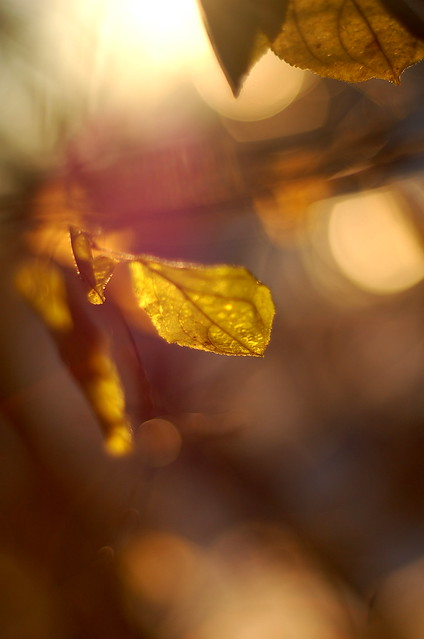 lucent leaves