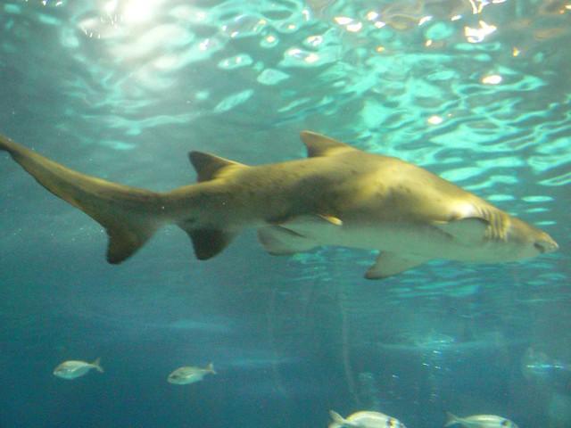 sand tiger shark flickr photo sharing