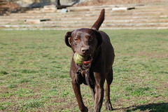 pointer(0.0), german shorthaired pointer(0.0), dog breed(1.0), labrador retriever(1.0), animal(1.0), dog(1.0), pet(1.0), mammal(1.0), hunting dog(1.0),
