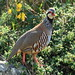 Red-legged Partridge - Photo (c) Arturo Nikolai, some rights reserved (CC BY-NC-SA)