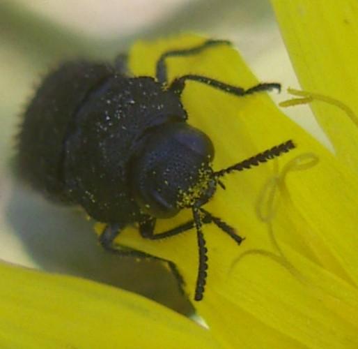 Acmaeodera crinita 2535192887_19ac7332a6_o
