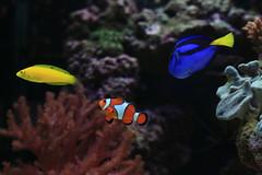 coral reef, anemone fish, coral, fish, coral reef fish, organism, marine biology, fauna, underwater, reef,