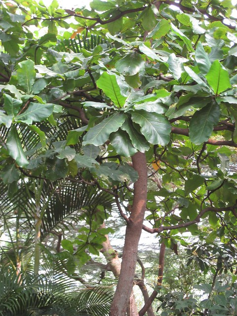 Terminalia Catappa Indian Almond Bengal Almond Singapore Almond Malabar Almond Tropical