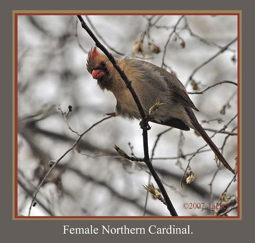bird nature birds cardinal fowl redbird missouribirds