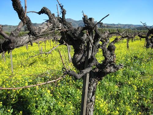 napa, mustard, old vines IMG_1364