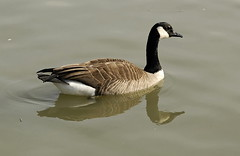 Canada Goose - Photo (c) brendan.lally, some rights reserved (CC BY)