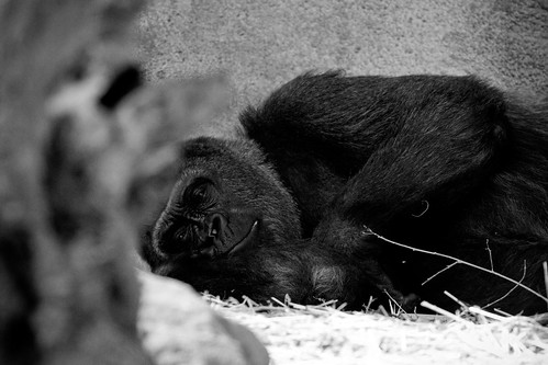 sleeping:gorilla