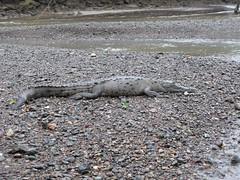 lizard(0.0), komodo dragon(0.0), animal(1.0), crocodile(1.0), reptile(1.0), nile crocodile(1.0), fauna(1.0), scaled reptile(1.0), wildlife(1.0),
