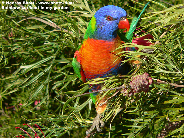 Rainbow Lorikeet in my backyard