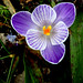 My Crocus Are Blooming by Slideshow Bruce