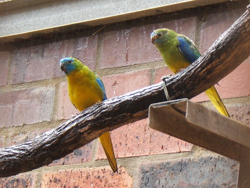 DSCF7029 turquoise parrot