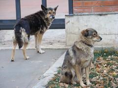 dog breed, animal, west siberian laika, dog, czechoslovakian wolfdog, pet, shikoku, mammal, wolfdog, australian cattle dog, saarloos wolfdog, east-european shepherd,