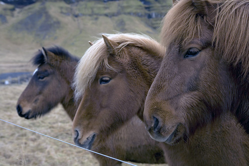 Three horses wondering about the winter