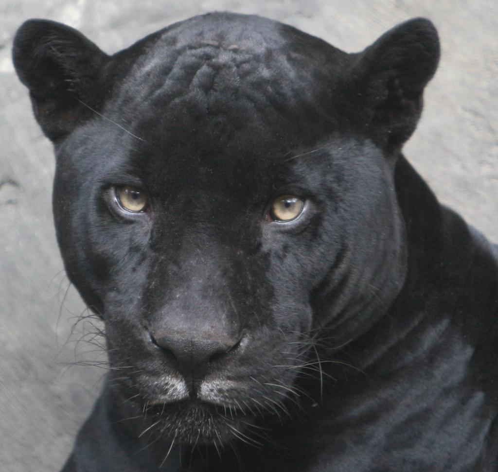 On Black Close Up Of The Black Jaguar By Kjdrill Large