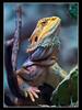 Bartagame (Bearded Dragon) by guenterleitenbauer