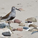 dunlin-bird-morro-bay-3