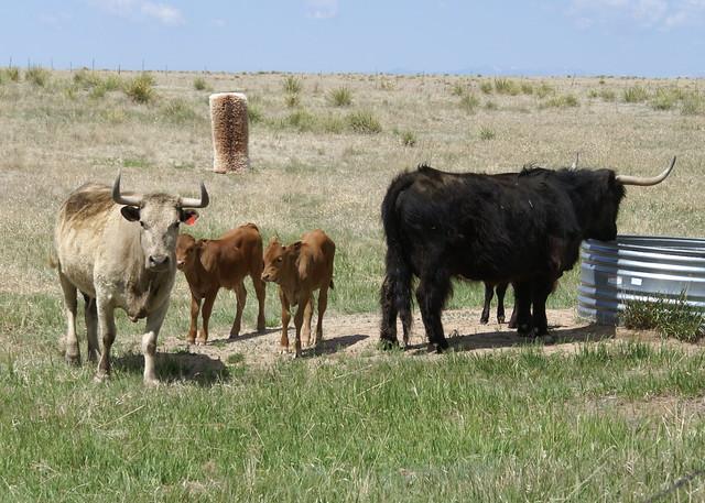 Corriente cattle | Flickr - Photo Sharing!