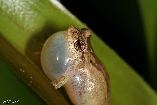 Eleutherodactylus cochranae