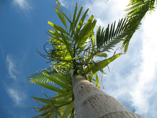 Palm Tree, Bayview