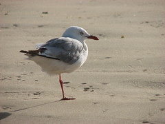 animal, sand, wing, fauna, european herring gull, shorebird, beak, bird, seabird, wildlife,