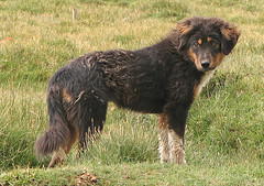 dog breed(1.0), animal(1.0), dog(1.0), hovawart(1.0), pet(1.0), english shepherd(1.0), carnivoran(1.0),