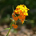Western Wallflower - Photo (c) James Gaither, some rights reserved (CC BY-NC-ND)