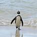 Small photo of African Penguin (Spheniscus demersus)