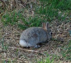 animal, hare, grass, rabbit, domestic rabbit, fauna, rabits and hares, wildlife,