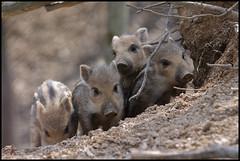 Baby Wild Boar Times Four