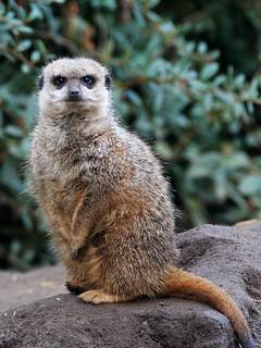 Inevitable Meerkat