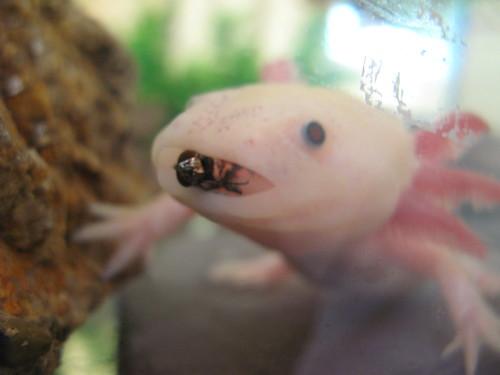 Axolotl 39 s n stuff february 2011 for Fish eat fish