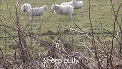 Sheep bully