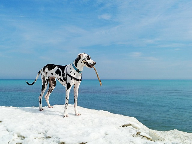 Canadian Dane at Lake Ontario, Toronto