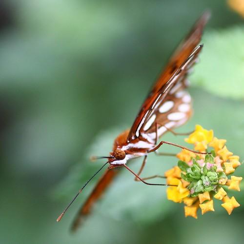 macro butterfly canon5d gulffritillary amazingtalent 50mmf25macrolens