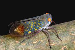 locust(0.0), weevil(0.0), arthropod(1.0), animal(1.0), cicada(1.0), invertebrate(1.0), insect(1.0), macro photography(1.0), fauna(1.0), close-up(1.0), true bugs(1.0),