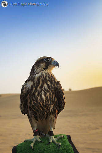 Dubai United Arab Emirates Picture : Peregrine falcon - Safari Dubai - United Arab Emirates