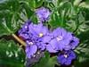 Flowering African Violet - Sylvia