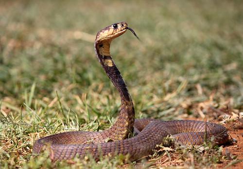 Cobra Tongue