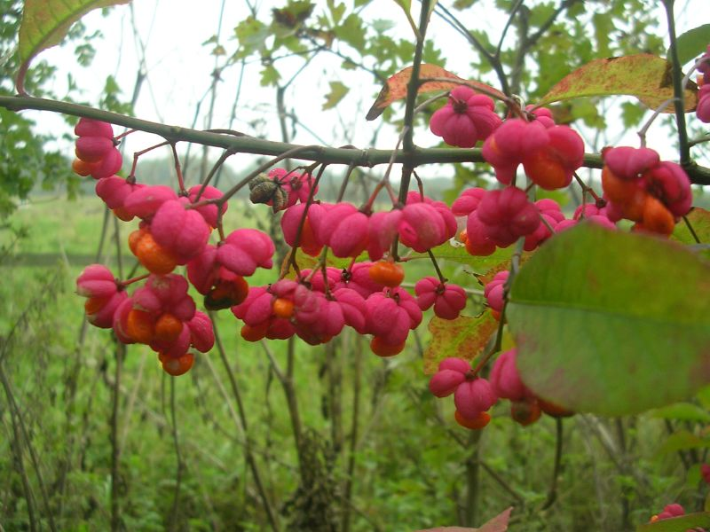 Spindle fruit Knockholt circular