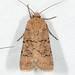 Noctuidae X - 10702 - 10868