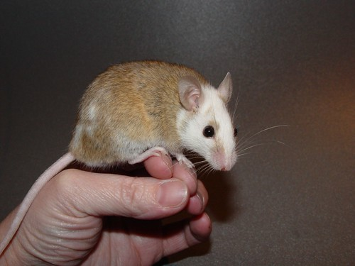 How to care for your new African Soft-Furred Rat, Praomys ...