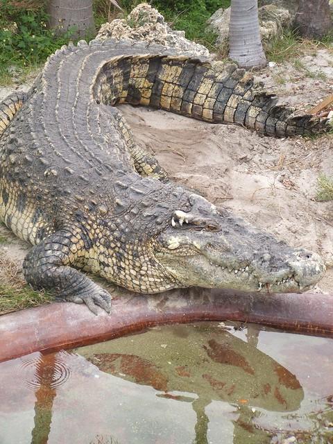Quão grande pode ser? - Crocodilianos gigantes 2254448113_98430b58cb_z