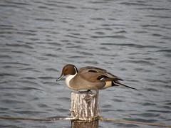 duck(0.0), canard(0.0), mergus(0.0), shorebird(0.0), animal(1.0), water bird(1.0), wing(1.0), water(1.0), fauna(1.0), waterfowl(1.0), seaduck(1.0), ducks, geese and swans(1.0), beak(1.0), bird(1.0), wildlife(1.0),