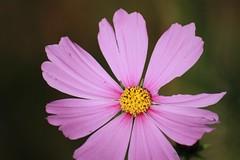 blossom(0.0), purple(0.0), plant stem(0.0), annual plant(1.0), flower(1.0), garden cosmos(1.0), yellow(1.0), plant(1.0), macro photography(1.0), wildflower(1.0), flora(1.0), close-up(1.0), cosmos(1.0), pink(1.0), petal(1.0),