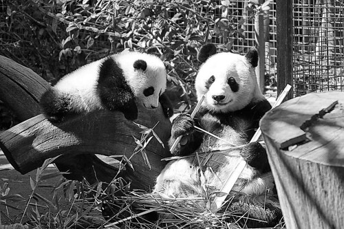 Panda Family Portrait