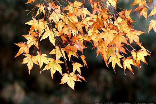 amber autumn leaves    MG 4551