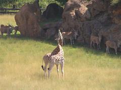animal, herd, giraffe, fauna, giraffidae, savanna, grassland, safari, wildlife,