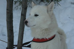 animal, dog, hokkaido, snow, pet, white shepherd, east siberian laika, berger blanc suisse, greenland dog, kishu, korean jindo dog, wolfdog, carnivoran, samoyed,