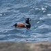 Flickr photo 'Harlequin Duck (Histrionicus histrionicus)' by: DaveMaherPhotos.
